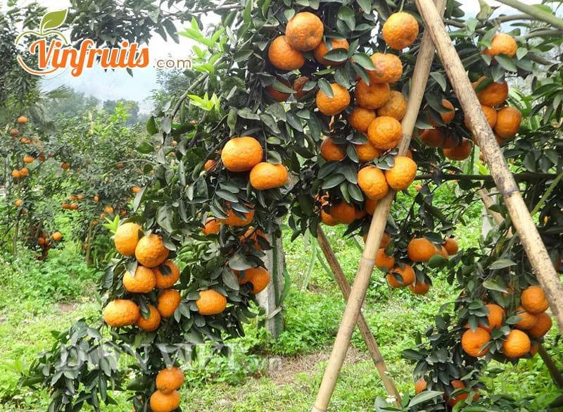 Người dân phải làm kèo chống đỡ cho cam - Vinfruits