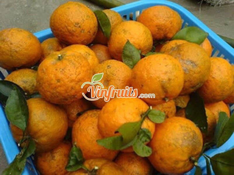 """Cam sành """"sạch"""" Bắc Quang - Vinfruits"""