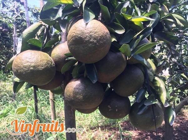 Cam sành đen hữu cơ chín cây - Vinfruits