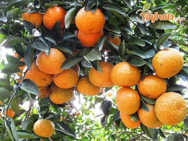 Cam xành Hàm Yên chín cây - Vinfruits