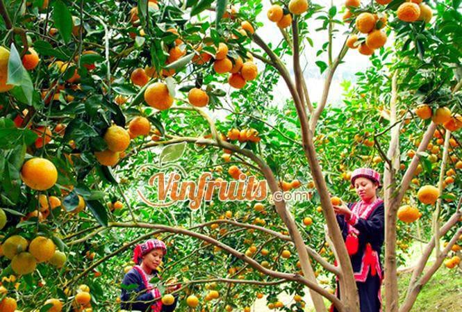 Cam sành Hàm Yên chín cây - Vinfruits