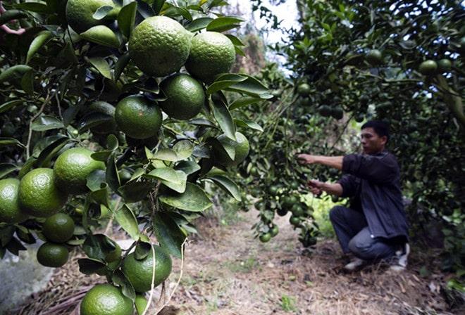 Các tỉnh miền Nam ưa loại cam sành còn xanh - Vinfruits