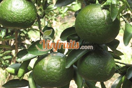 Giá cam sành Bắc Tân Uyên thường ít giao động - Vinfruits