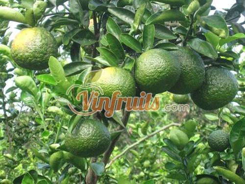 Cam sành Bắc Tân Uyên trái to và đẹp - Vinfruits