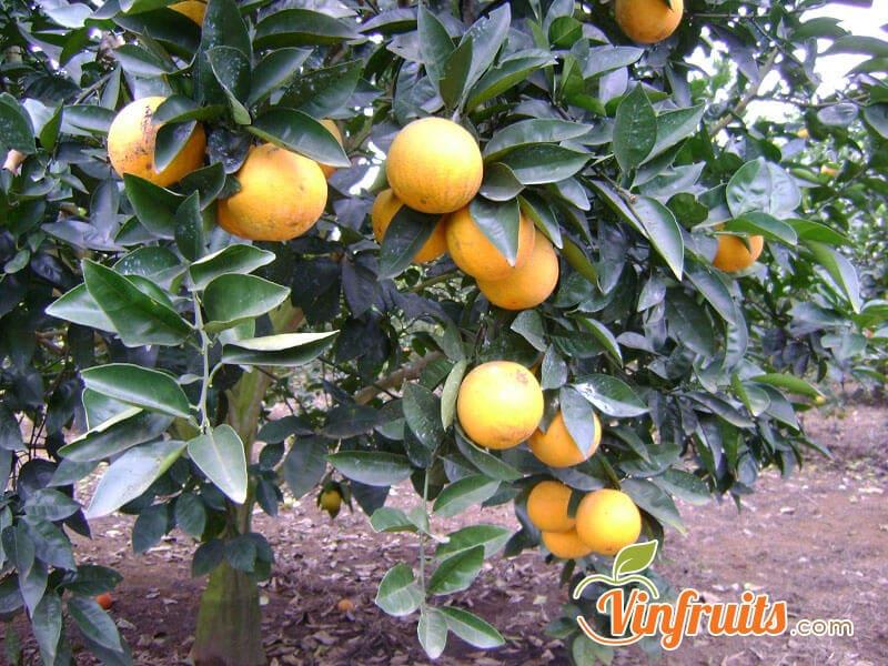 Cam Vinh xã Đoài là ngon nhất - Vinfruits