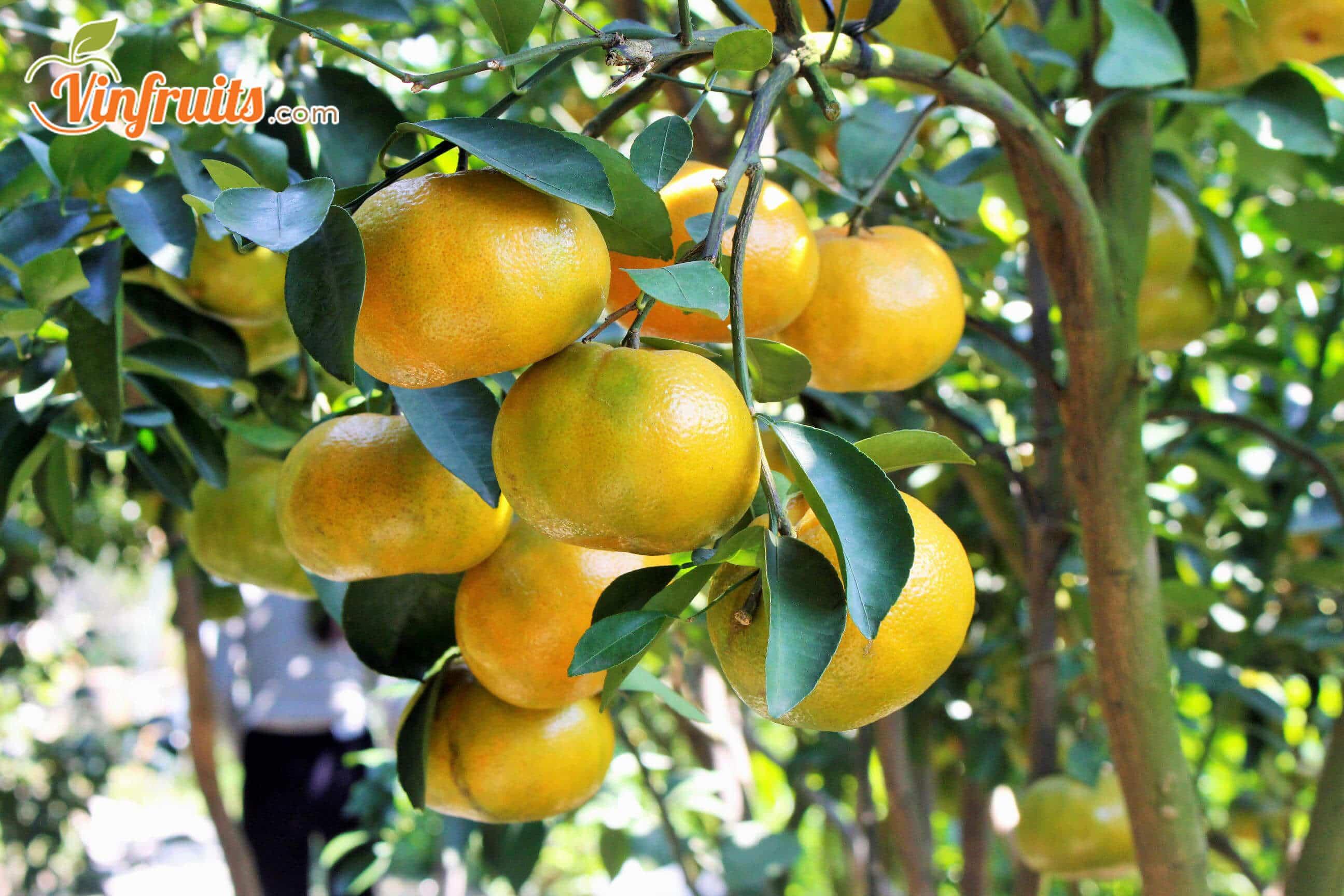 Quýt đường Lai Vung chín cây - Vinfruits