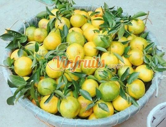 Quýt đường Lai Vung vừa thu hoạch - Vinfruits