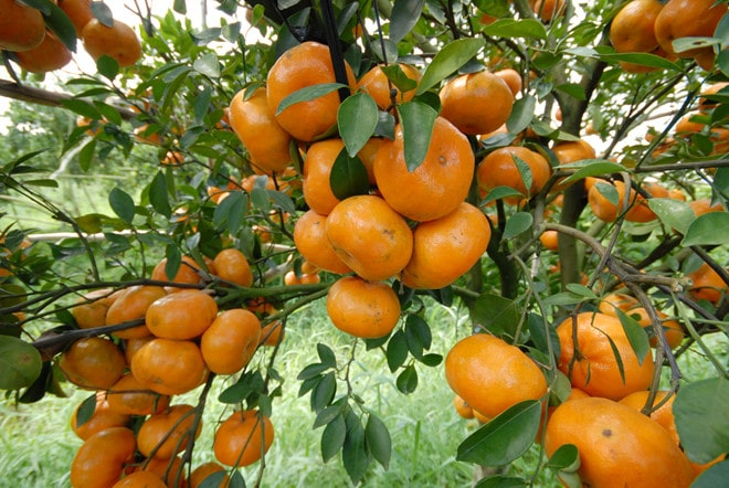 Vườn quýt hồng Lai Vung - Đồng Tháp - Vinfruits