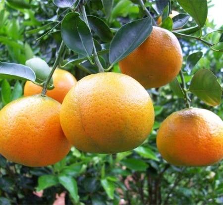 Giá quýt đường thay đổi theo phân loại - Vinfruits