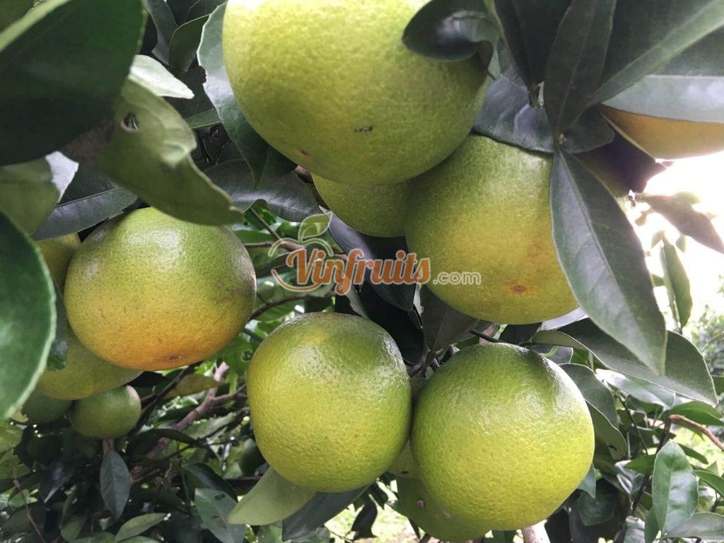 Cam Khe May thơm ngon, tốt cho sức khỏe - Vinfruits