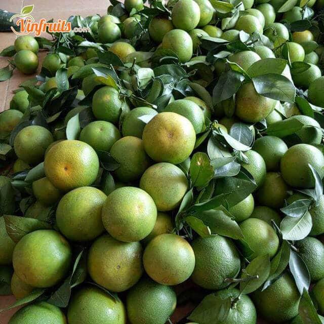 Nông dân cắt cành và bán cam Khe Mây tại vườn - Vinfruits