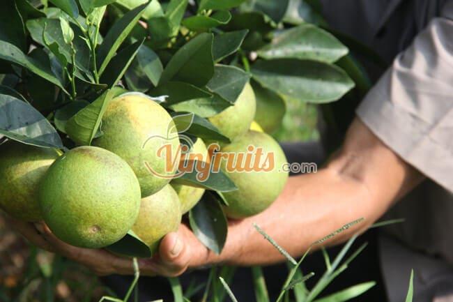 Cam Khe Mây - Hà Tĩnh - Vinfruits