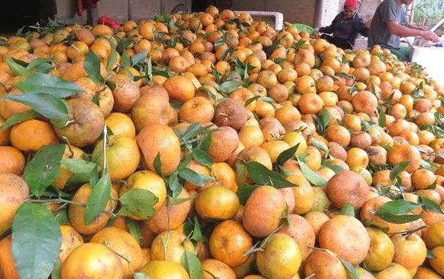 Quýt được trồng và thu hoạch tại chổ - Vinfruits