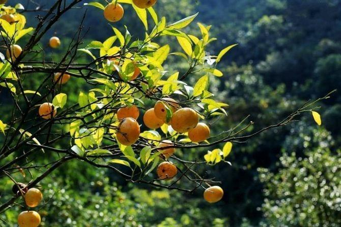 Kỹ thuật trồng quýt cần tuân thủ nghiêm ngặt - Vinfruits