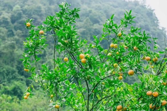 Quýt Bắc Sơn chín cây - Vinfruits