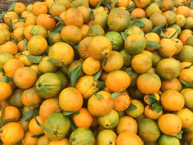 Quýt Mường Khương - Vinfruits