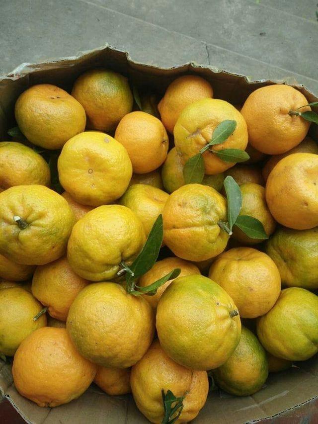 Trái quýt cắt cành lúc còn xanh để chín dần cho tới khi bán - Vinfruits