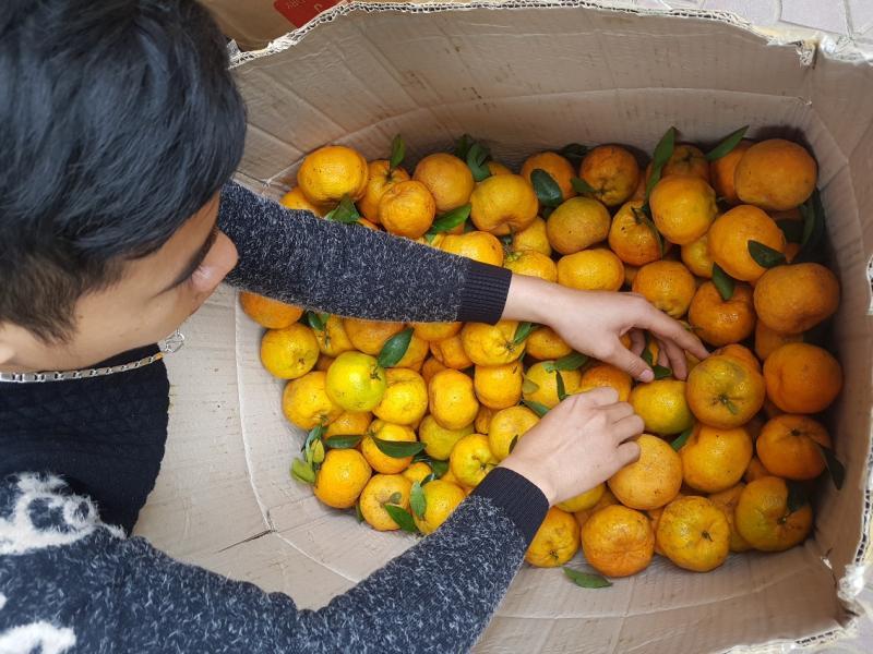 Quýt Mường Khương được thu hoạch và phân loại - Vinfruits