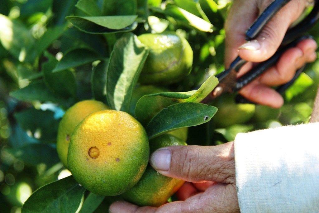 Quýt Hương Cần vào mùa thu hoạch - Vinfruits