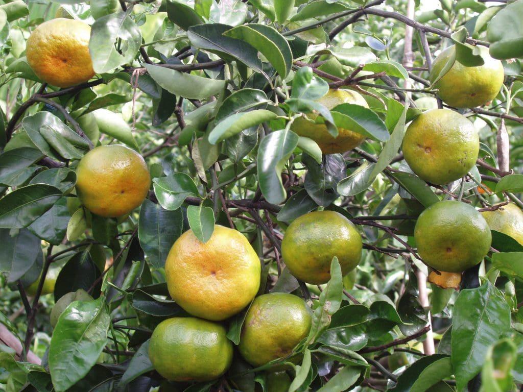 Quýt Hương Cần chín cây - Vinfruits