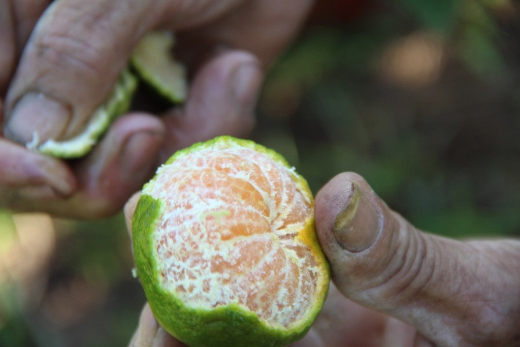 Quýt Hương Cần - Vinfruits