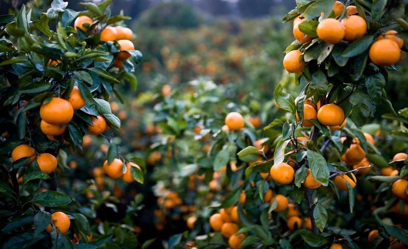 Vườn quýt Jeju Hàn Quốc - Vinfruits