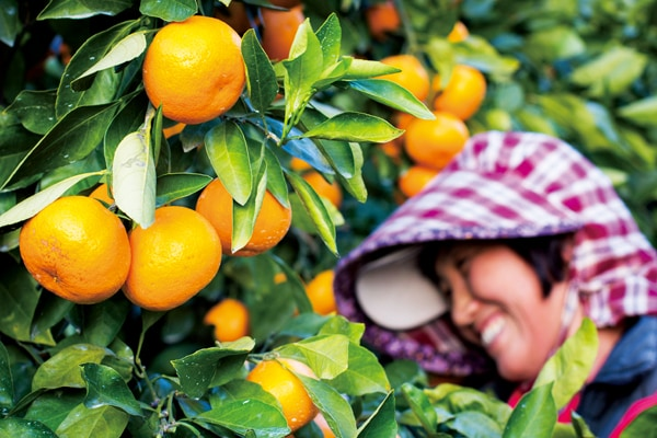 Quýt Jeju thu hoạch khi chín cây - Vinfruits