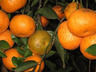 Quýt Yên Bái thơm ngon - Vinfruits