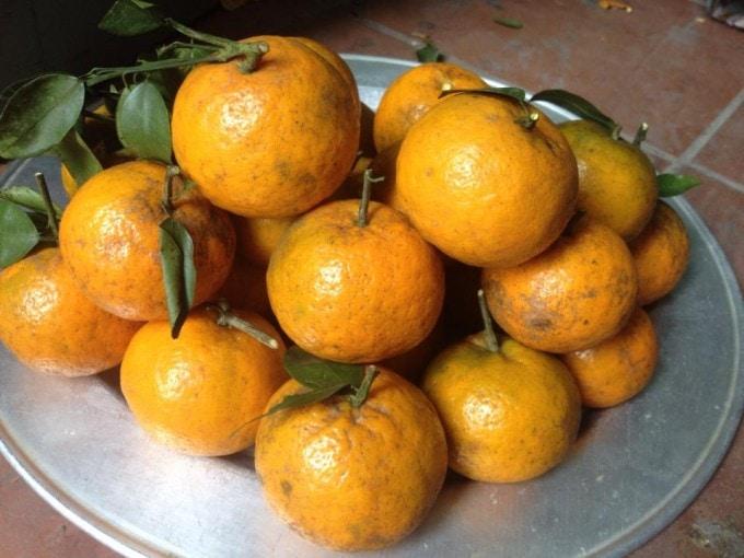 Quýt Yên Bái - Vinfruits