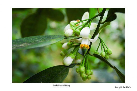 Hoa bưởi Đoan Hùng. (ảnh sưu tập)