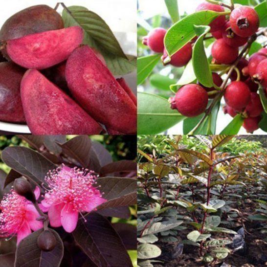 Hình ảnh cây hoa quả Ổi Tím
