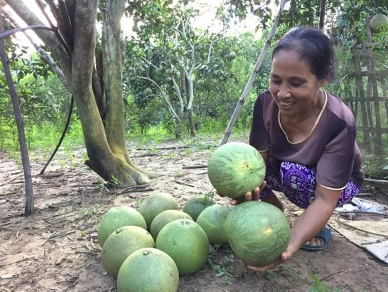 Bưởi tại vườn của người dân Lào Cai